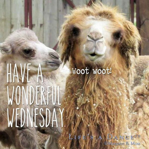 Funny Hump Day Pics with Camel 3